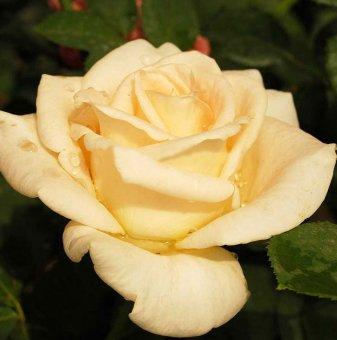 Бяла + бананова + червена щамбова роза - дърво 110-140 см....