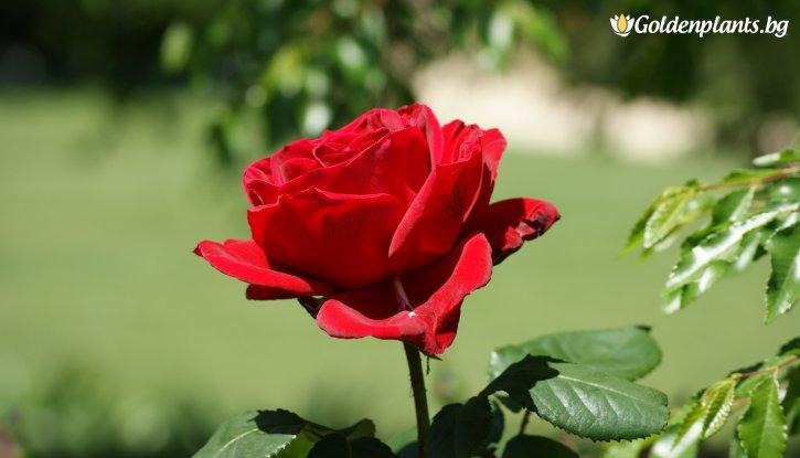 Снимка Бяла + бананова + червена щамбова роза - дърво 110-140 см.