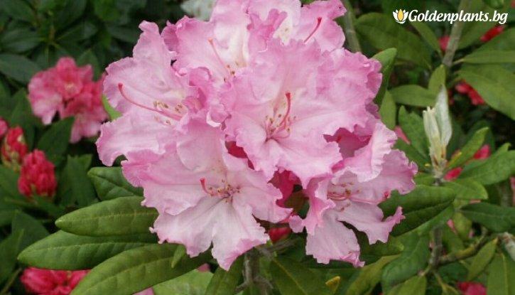 Снимка Рододендрон smirnowii /Rhododendron smirnowii/
