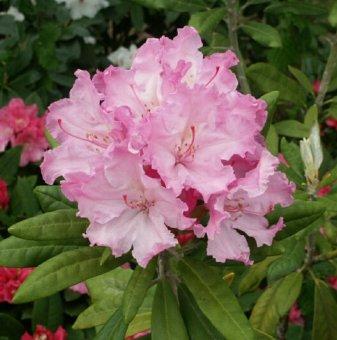 Рододендрон smirnowii /Rhododendron smirnowii/