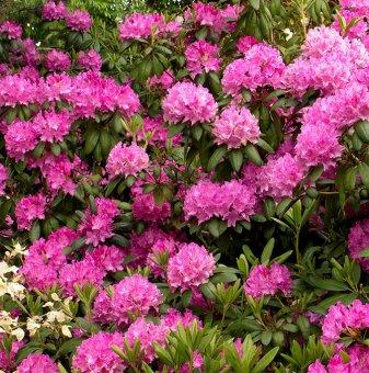 Рододендрон Нова Зембла 40-50см. /Rhododendron nova zembla/..