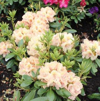 Рододендрон belcanto /Rhododendron belcanto/