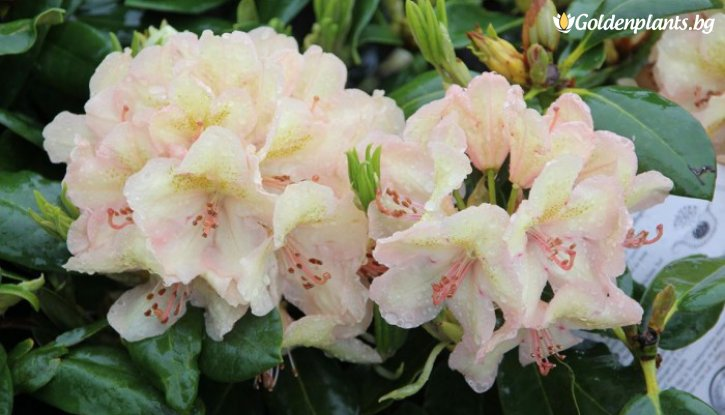 Снимка Рододендрон belcanto /Rhododendron belcanto/