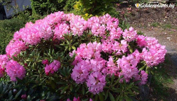 Снимка Рододендрон blurettia /Rhododendron blurettia/