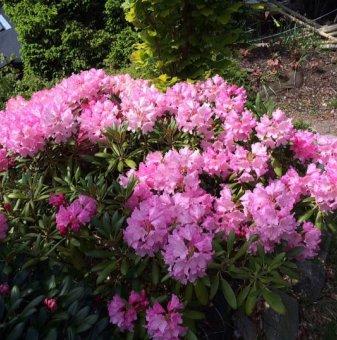 Снимка Рододендрон blurettia /Rhododendron blurettia/...