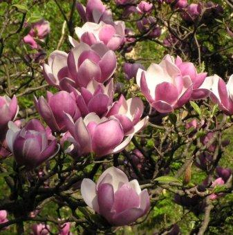 Магнолия Soulangeana 90-120 см. / Magnolia Soulangeana/..