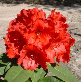 Рододендрон red jack /Rhododendron red jack/...