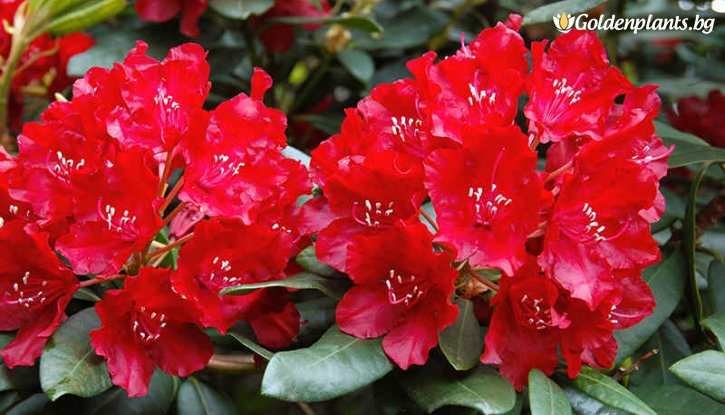 Снимка Рододендрон red jack /Rhododendron red jack/