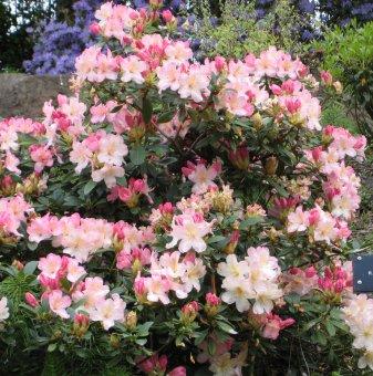 Рододендрон percy wiseman /Rhododendron percy wiseman/..