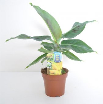 Банан Musa Tropicana / Musa tropicana banana /...