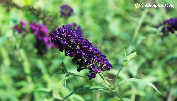 Снимка Будлея Лилава Black Knight / Летен люляк /Buddleia Black Knight/