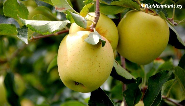 Снимка Ябълка Златна Превъзходна / Apple Golden Delicious /