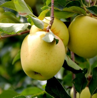 Ябълка Златна Превъзходна / Apple Golden Delicious /..