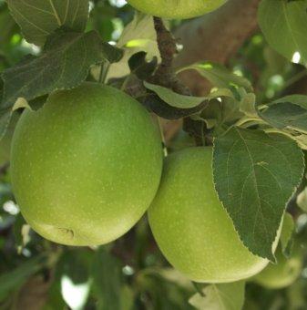 Ябълка сорт Грени Смит / Apple Granny Smith /...