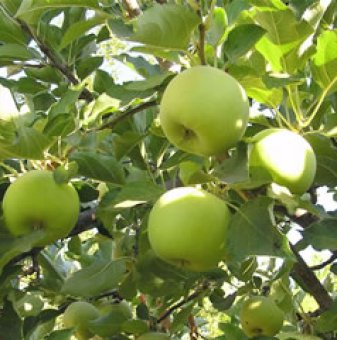 Ябълка сорт Муцу / Apple Mutsu /...