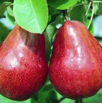 Круша сорт Червена Вилямова Масловка / Pear Red William /...