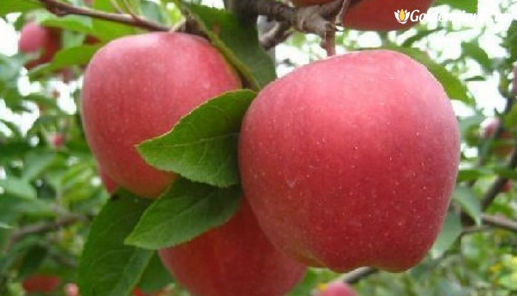 Снимка Ябълка сорт Роял Гала / Apple Royal Gala /