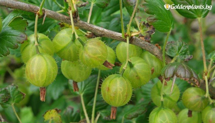 Снимка Цариградско грозде 50-60 см. / Ribes uva crispa /