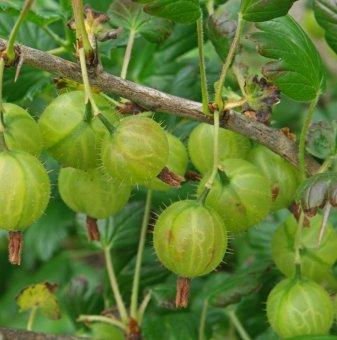 Цариградско грозде 50-60 см. / Ribes uva crispa /...