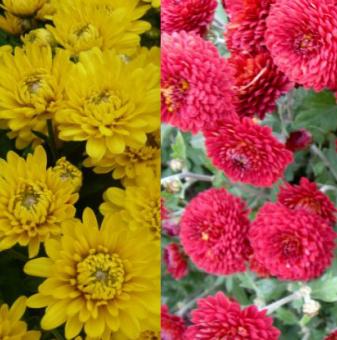 Снимка Кълбовидна Хризантема микс жълто с червено / Chrysanthemum /...