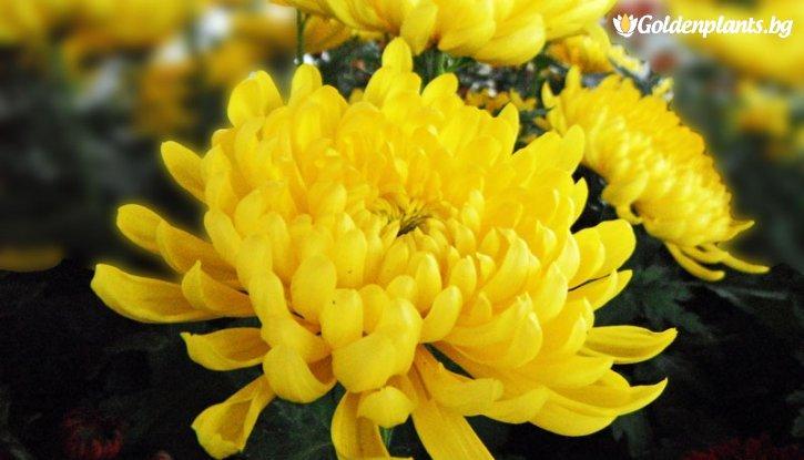 Снимка Кълбовидна Хризантема микс жълто с червено / Chrysanthemum /