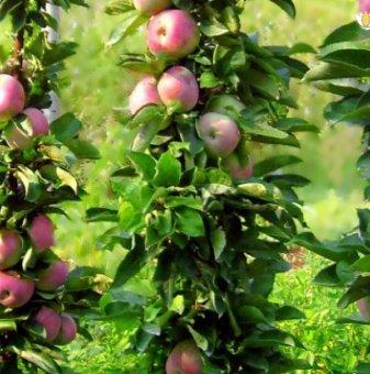 Ябълка Колонна Роса