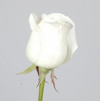 Снимка Роза бяла ...