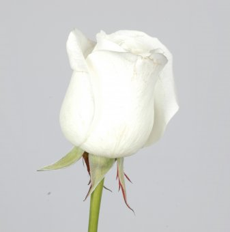 Роза бяла ароматна