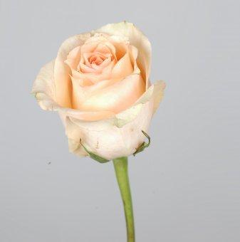 Роза бананова