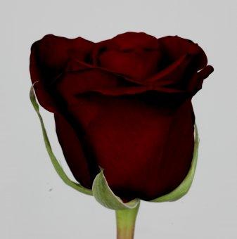 Роза тъмночервена - черна...