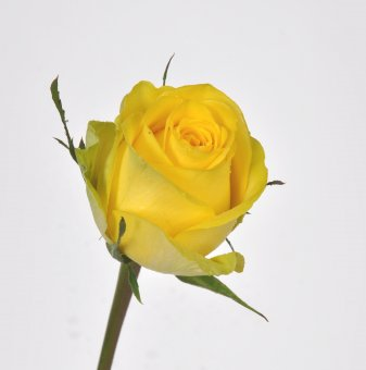 Арабис Deep Rose /Arabis Deep Rose/