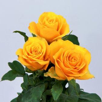 Роза тъмножълта