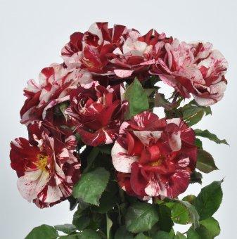 Роза рисувана ароматна