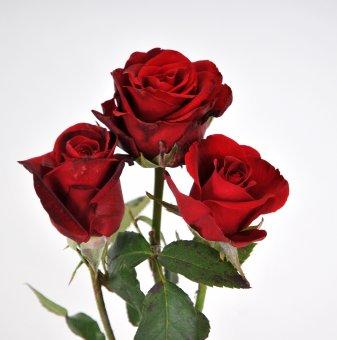 Снимка Роза тъмночервена ароматна...