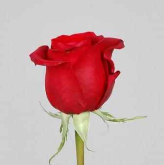 Роза червена в контейнер