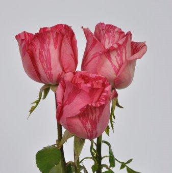 Роза рисувана розова