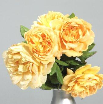 Роза жълта катерлива
