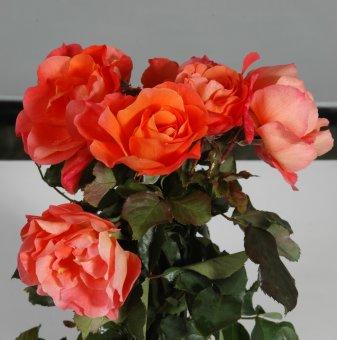 Роза оранжева катерлива