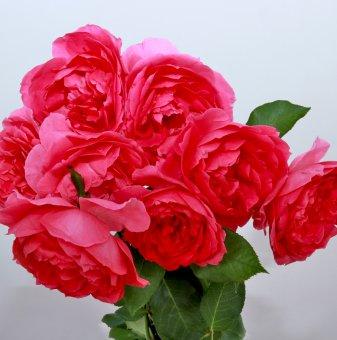 Роза розова катерлива