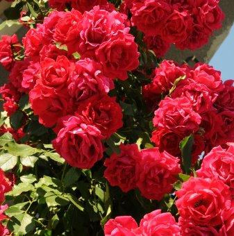 Роза червена катерлива