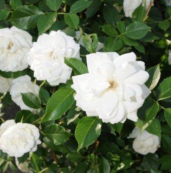Роза бяла катерлива