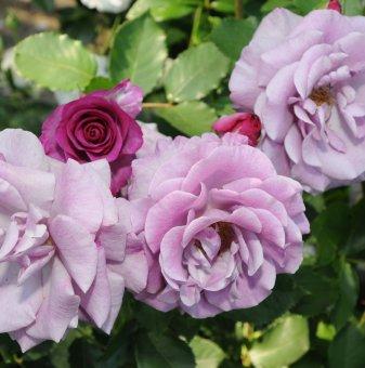Роза лилава катерлива