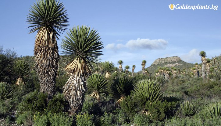 Снимка Юка 20-30 см. / Yucca /