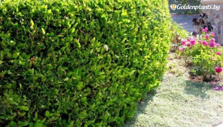 Снимка 10 броя Лигуструм вечнозелен 20-40 см /Ligustrum Ovalifolium/ на гол корен