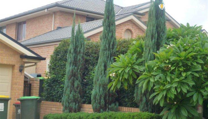 Снимка Юниперус Скайрокет 85-90 см. / Juniperus Skyrocket /