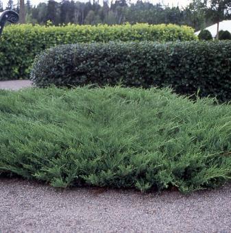 Юниперус Плумоза 15-20 см. / Juniperus Plumosa /