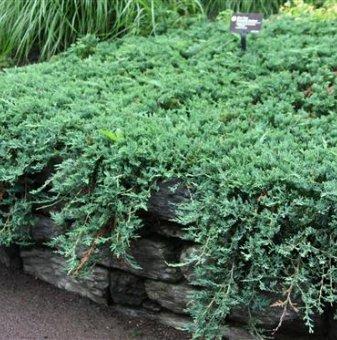 Юниперус Wiltonii 10-15 см. / Juniperus Wiltonii /...
