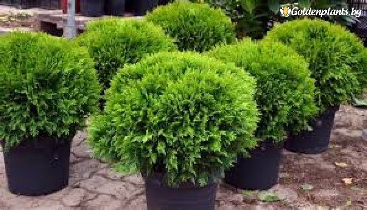 Снимка Западна Туя Даника 15-25см. /Thuja Occidentalis Danica/