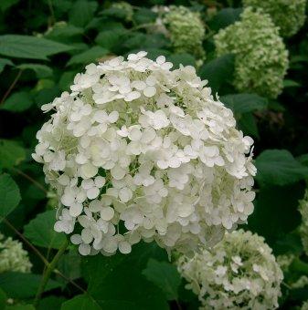 Хортензия бяла 90-100 см. / Hydrangea Аrborescens /..