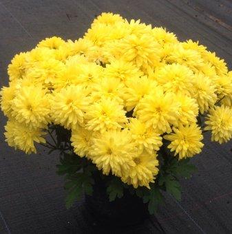 Кълбовидна Хризантема жълта / Chrysanthemum /...